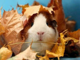 Cute Guinea pig & Autumn Leaves - diamond-painting-bliss.myshopify.com