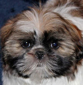 Cute Shih Tzu Dog Diamond Painting - diamond-painting-bliss.myshopify.com