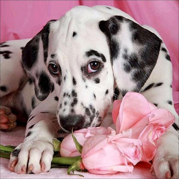 Dalmatian Dog with Flower - diamond-painting-bliss.myshopify.com