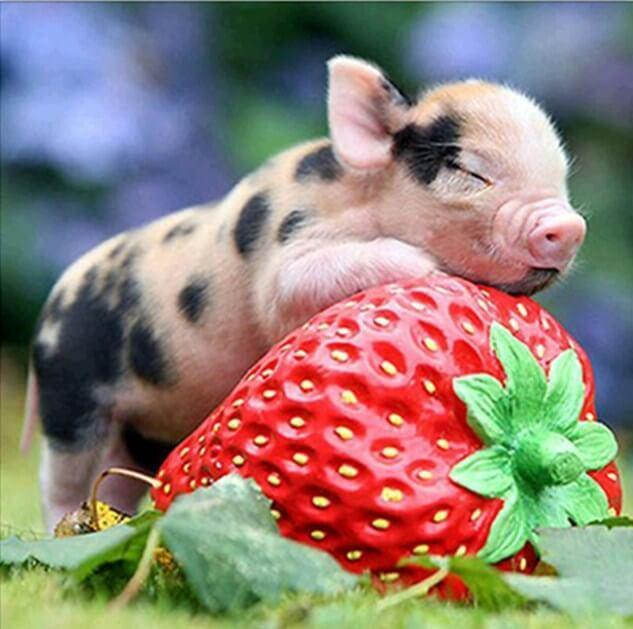Cute Pig on Strawberry - diamond-painting-bliss.myshopify.com