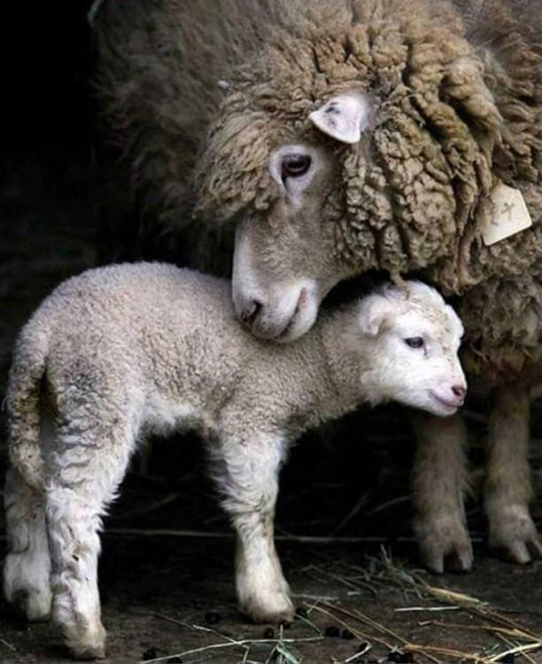 Mummy & Baby Sheep - diamond-painting-bliss.myshopify.com