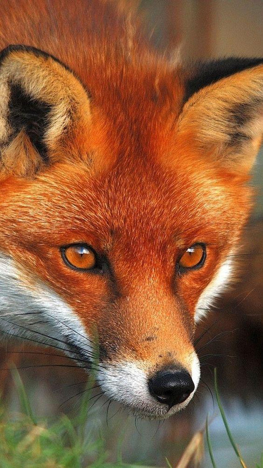 Red Fox Looking Toward the Target - diamond-painting-bliss.myshopify.com