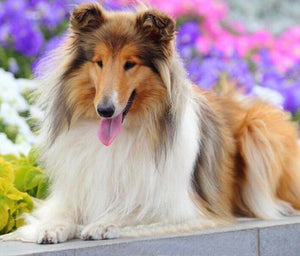 Rough Collie Diamond Painting - diamond-painting-bliss.myshopify.com