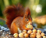 Squirrel eating Walnuts - diamond-painting-bliss.myshopify.com