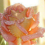 Water Droplets on Rose - diamond-painting-bliss.myshopify.com