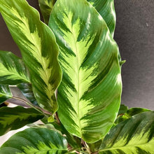 "Load image into Gallery viewer, Calathea ""Misto"""