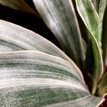 "Load image into Gallery viewer, Sansevieria trif. ""Metallica"" - Anyósnyelv"