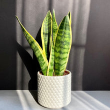 "Load image into Gallery viewer, Sansevieria trif. ""Futura superba"" - Anyósnyelv"