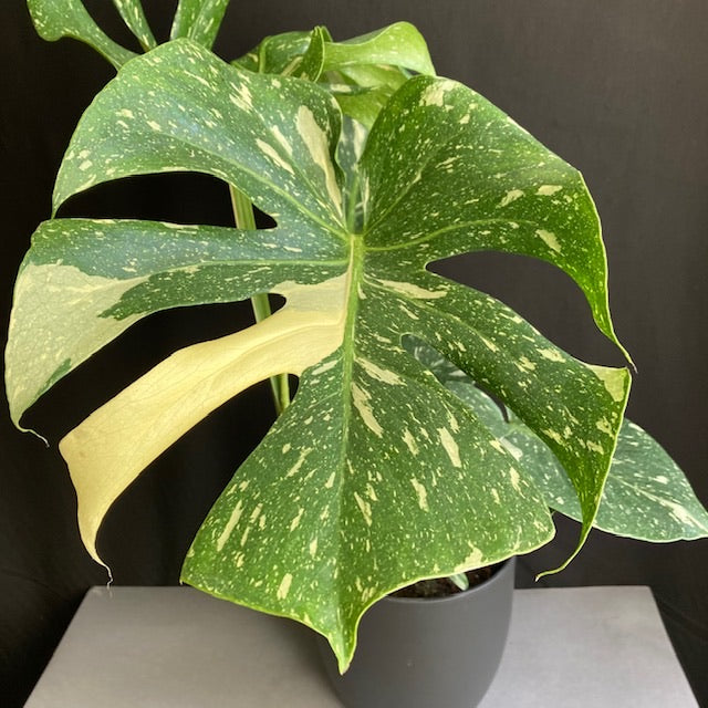 "Monstera deliciosa ""Thai constellation"" 2"