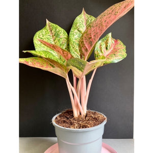 "Aglaonema ""Dizzy diamond"" - Rákvirág - Chinese Evergreen"