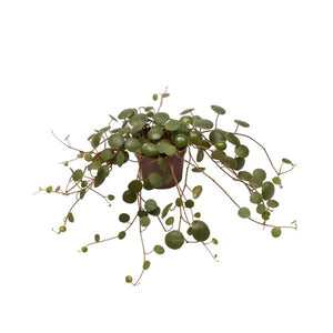Peperomia pepperspot - Csüngő törpebors - String of coins
