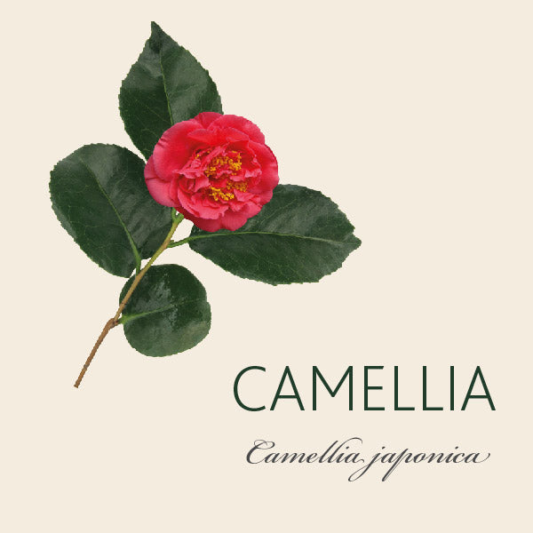 Every Camellia has a Story
