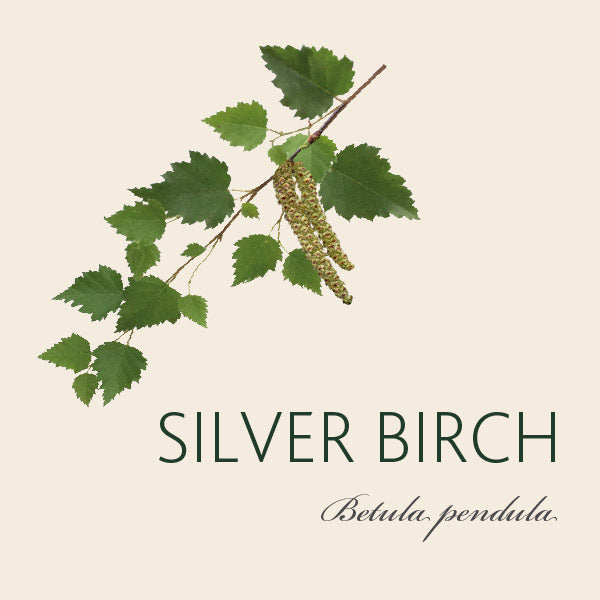 Every Silver Birch tree has a story...
