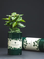 Coffee tree gift