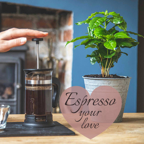 Coffee tree gift with fresh coffee