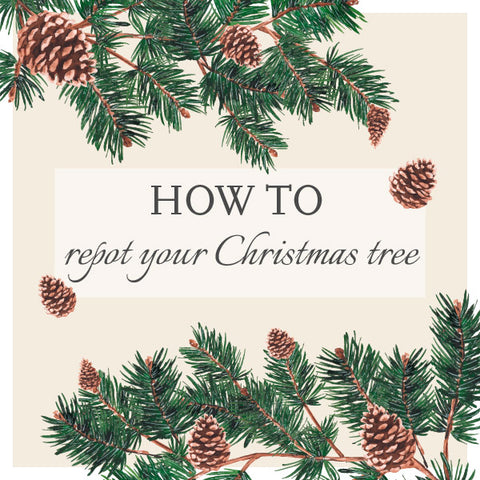 How to repot your Christmas Tree