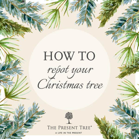 How to repot a Christmas Tree