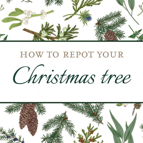A fake Christmas tree is better than none, but nothing can replicate the  nostalgic, fresh resin scent of fresh pine needles! They say, for an  artificial ... - How To Repot Your Christmas Tree €� The Present Tree