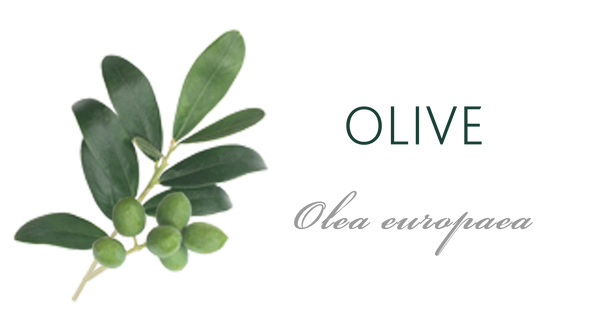 Olive Tree Meaning Tree Symbolism The Present Tree