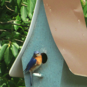 Male eastern bluebird sitting on perch on the front of a bluebird house ready to go inside house Michael's Woodcrafts Woodworkers Greenville SC