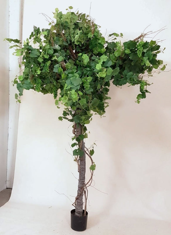 Vintræ, Grape Ivy Plant, 1136-260
