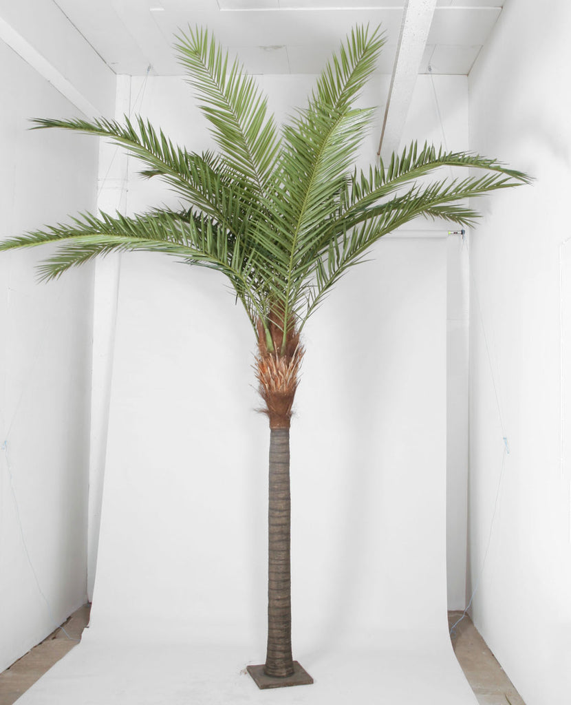 Phoenx Canarie Palm, 1213-360