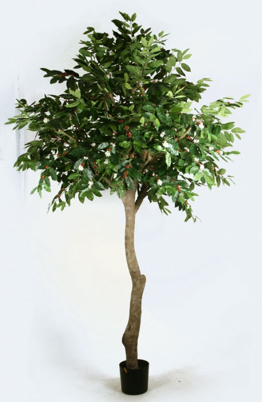 Coffe Tree, 33-270