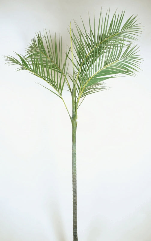 Kentia Palm, 4024