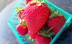 Fresh strawberries grown using AgroThrive Organic Fertilizer