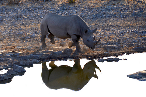 Aspinall Foundation rhino in Tanzania