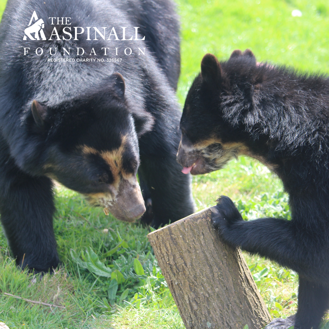 Adopt Rina & Oberon the spectacled bears