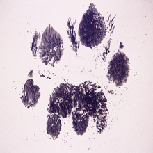 Load image into Gallery viewer, Cheetah footprint