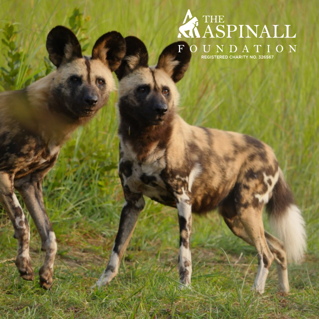 Sponsor the African Wild Dog Pack