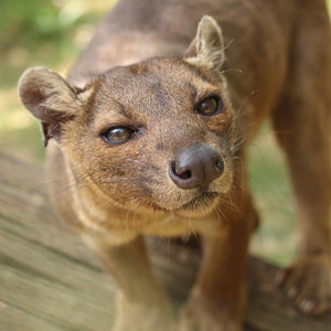 Adopt Ikongo the Fossa