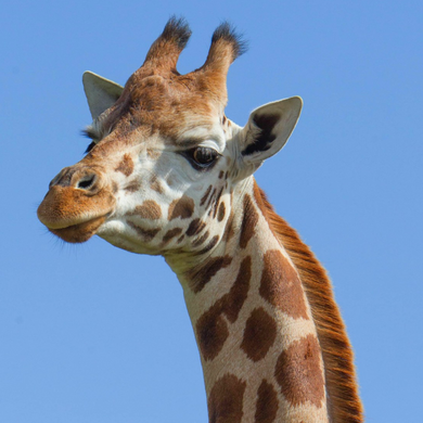 Giraffe on blue sky at Port Lympne Hotel and Reserve, Kent