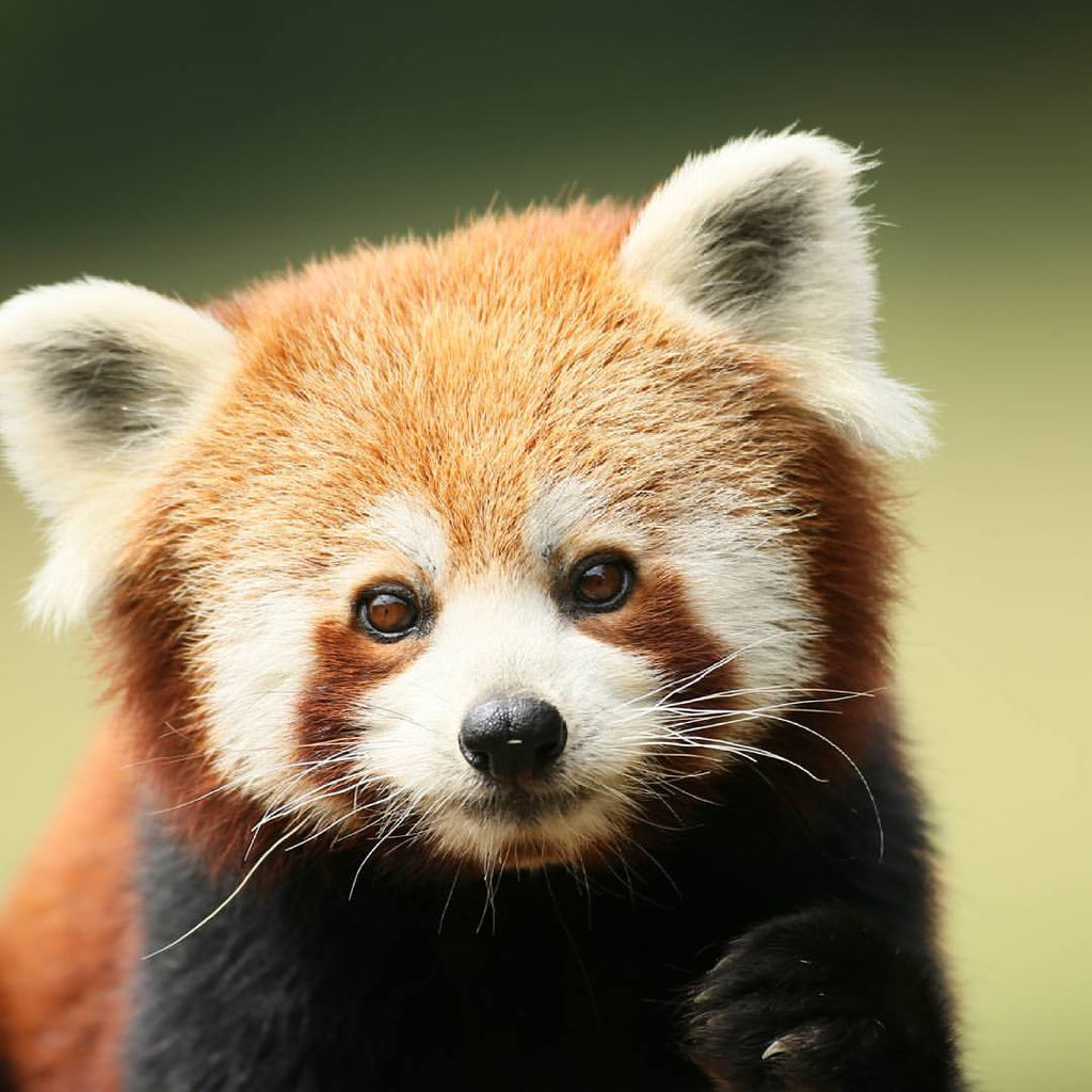 Red Panda Care Package