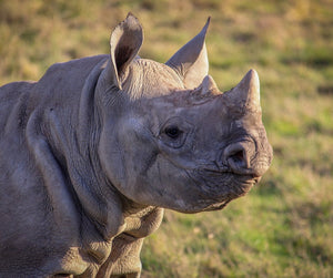 Adopt the Howletts Black Rhino Herd