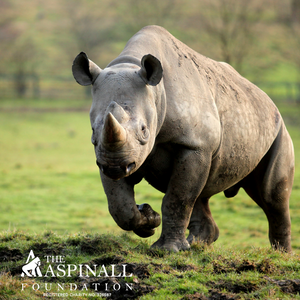 Adopt the Port Lympne the Rhino Herd