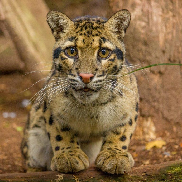 Clouded Leopard Care Package