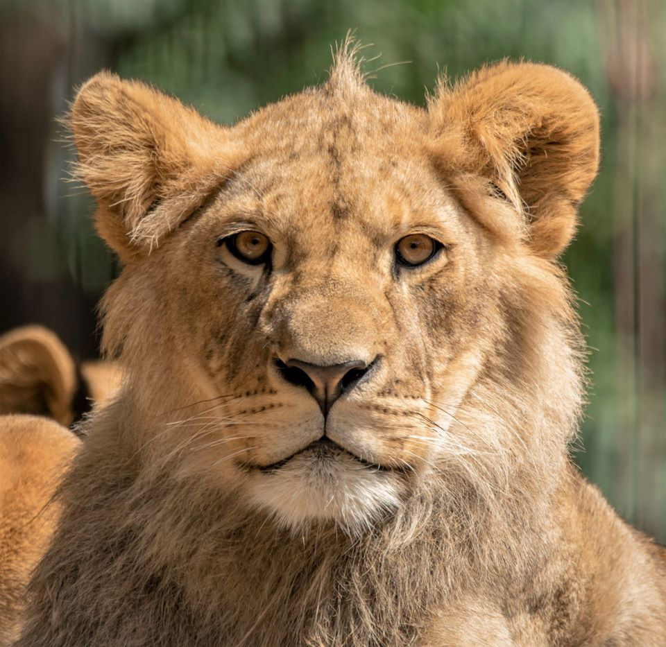 Adopt the Port Lympne Lion Pride