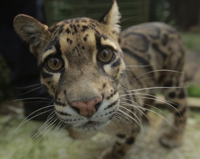 Adopt Matsi the Clouded Leopard