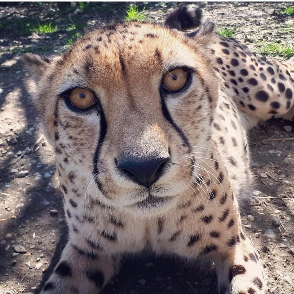 Adopt Split and Sifiso the Cheetahs