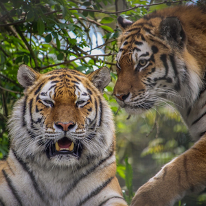 Adopt Amba & Amura the Amur Tigers
