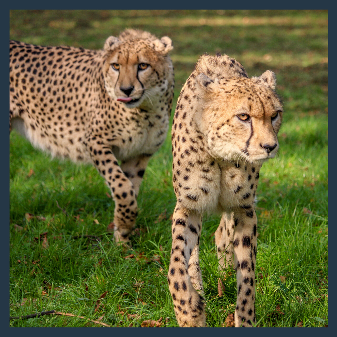 Sponsor Saba & Nairo the cheetah