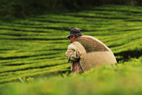 man harvesting tea at tea plantation