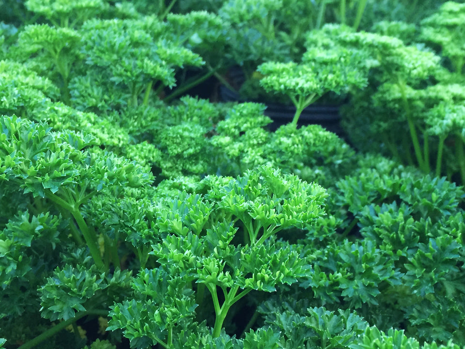Herb Seeds Moss Curled Parsley