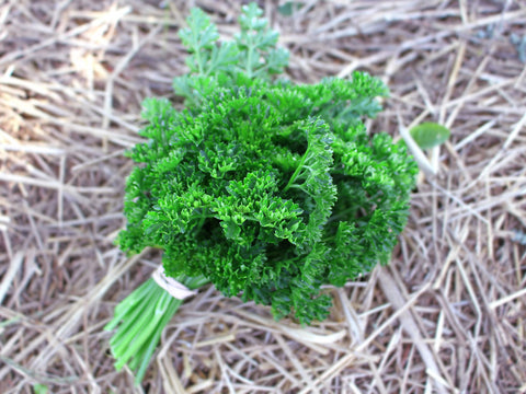 Krausa Curly Parsley