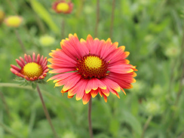 Painter's Palette Blanket Flower