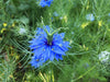 Miss Jekyll Blue Love-in-a-Mist