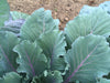 Ole Timey Blue Collards